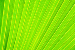 Green palm leaf texture background Royalty Free Stock Images