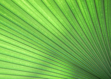 Green palm leaf texture. Close up green palm leaf texture Royalty Free Stock Images