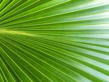 Green palm leaf texture Royalty Free Stock Photos