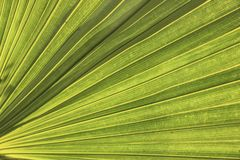 Green palm leaf texture closeup. Background Royalty Free Stock Images