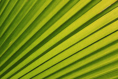 Green palm leaf texture Royalty Free Stock Photo