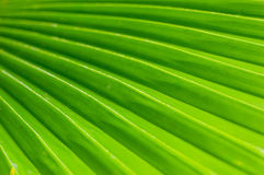 Green palm leaf texture Royalty Free Stock Images