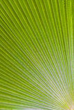 Green palm leaf -Trithrinax brasiliensis. Green palm leaf as texture as background Royalty Free Stock Photo