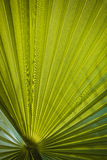 Green palm leaf viewed against bright sunlight Royalty Free Stock Images