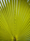 Green palm leaf viewed against bright sunlight Royalty Free Stock Photography