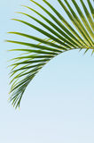 The green palm leave Royalty Free Stock Images