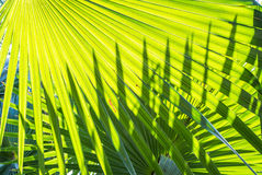 Green palm leave Stock Image