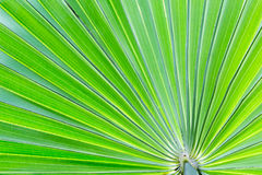 Green palm leave, texture and background. Stock Images