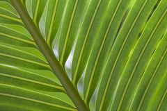 Green Palm leaves. Close-up vertical image of green palm leaves Stock Image
