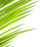 Green palm leaves against white Royalty Free Stock Photo