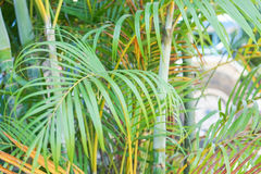 Green palm leaves background. Close up green palm leaves background Royalty Free Stock Photos