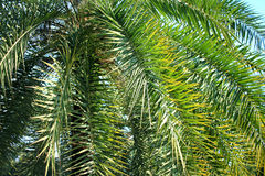 Green palm leaves background. Image of green palm leaves background Stock Image