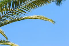 Green palm leaves on a blue clear sky background. Isolate the leaves of the date palm.  Royalty Free Stock Photos