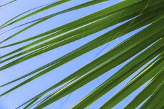 Green palm leaves on a blue clear sky background. Isolate the leaves of the date palm.  Stock Photos