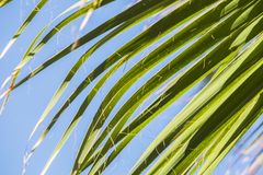 Green palm leaves on a blue clear sky background. Isolate the leaves of the date palm.  Royalty Free Stock Photo