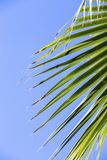 Green palm leaves on a blue clear sky background. Isolate the leaves of the date palm.  Stock Photography