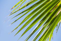 Green palm leaves on a blue clear sky background. Isolate the leaves of the date palm.  Stock Images