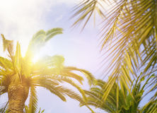 Green palm leaves on blue sky background Royalty Free Stock Photo