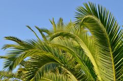 Green palm leaves on blue sky Stock Photo