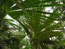 Green palm leaves. Crossing. White sky background Stock Photography