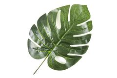 Green palm leaves. Isolated on white background royalty free stock images