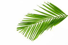 Green palm leaves isolated on white background, clipping path in Stock Image