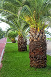 Batumi Green Palm Trees Stock Photo
