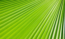 Green Palm leaves. Lines abstract image of Green Palm leaves Royalty Free Stock Photo