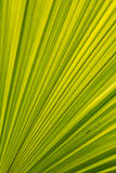 Green Palm leaves lines and textures. Palm leaf close-up, background Stock Photos