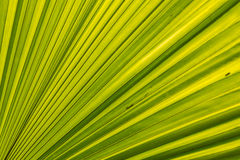 Green Palm leaves lines and textures. Palm leaf close-up, background Royalty Free Stock Photo
