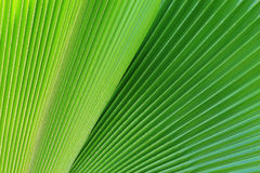 Green Palm leaves in nature Royalty Free Stock Photography