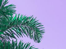 Green palm leaves over violet background. Close up green palm leaves over violet backdrop with copy space for springtime background, vintage filter effect Royalty Free Stock Photography