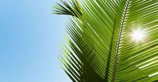 Green palm leaves in the sunshine Royalty Free Stock Photography