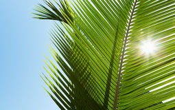 Green palm leaves in the sunshine Stock Image