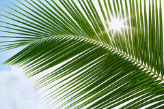 Green palm leaves in the sunshine with sunbeam Royalty Free Stock Image