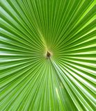 Green palm leaves. Texture of green palm leaves stock photo