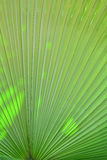 Green palm leaves. Texture of green palm leaves Royalty Free Stock Photos