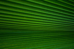 Green Palm leaves Royalty Free Stock Image