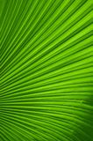 Green palm leaves texture. Close up fresh green palm leaves texture Royalty Free Stock Images