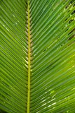 Palm leavs. close up Stock Images