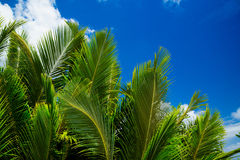 Green palm lush on blue sky background. Stock Photography