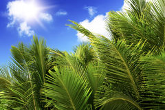Green palm lush on blue sky background. Stock Images