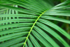 Green Palm Plant Leaves Royalty Free Stock Photo