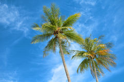 Coco palms Stock Image