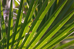 A green palm sheet structure Royalty Free Stock Photo