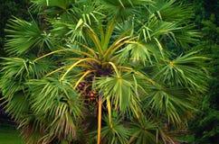 Green palm sugar tree in Asian jungle. Stock Photos