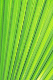 Green palm texture Royalty Free Stock Image