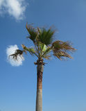 Green palm tree. Isolated on fine blue sky with clouds on background Royalty Free Stock Images