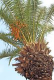 Green palm tree. Top backgrounded by a clear blue sky Royalty Free Stock Images