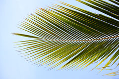Green palm tree Royalty Free Stock Photos
